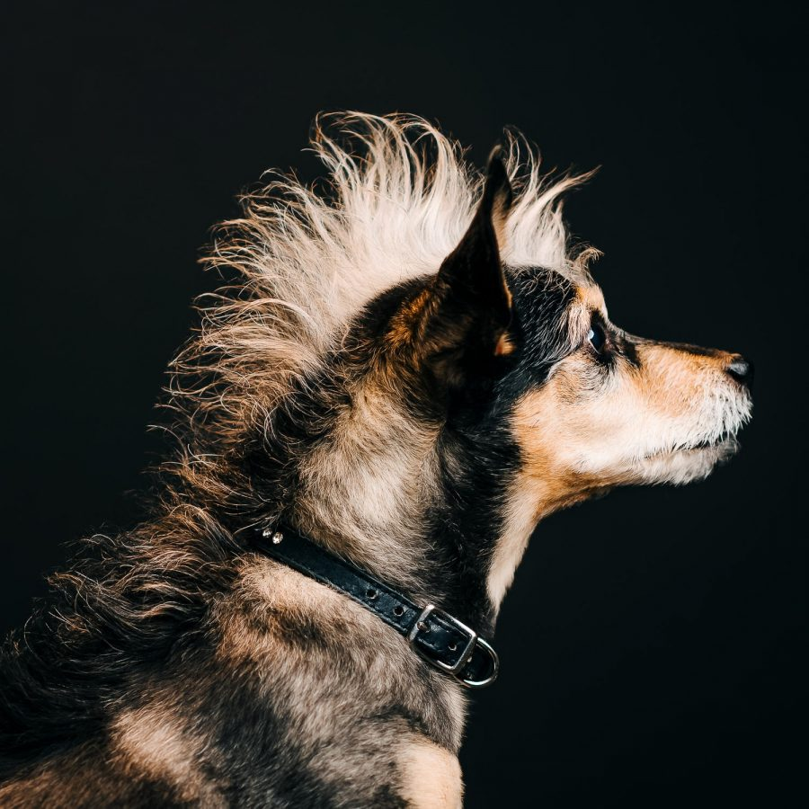 a striking studio lighting profile photo of a small terrier dog against a black background