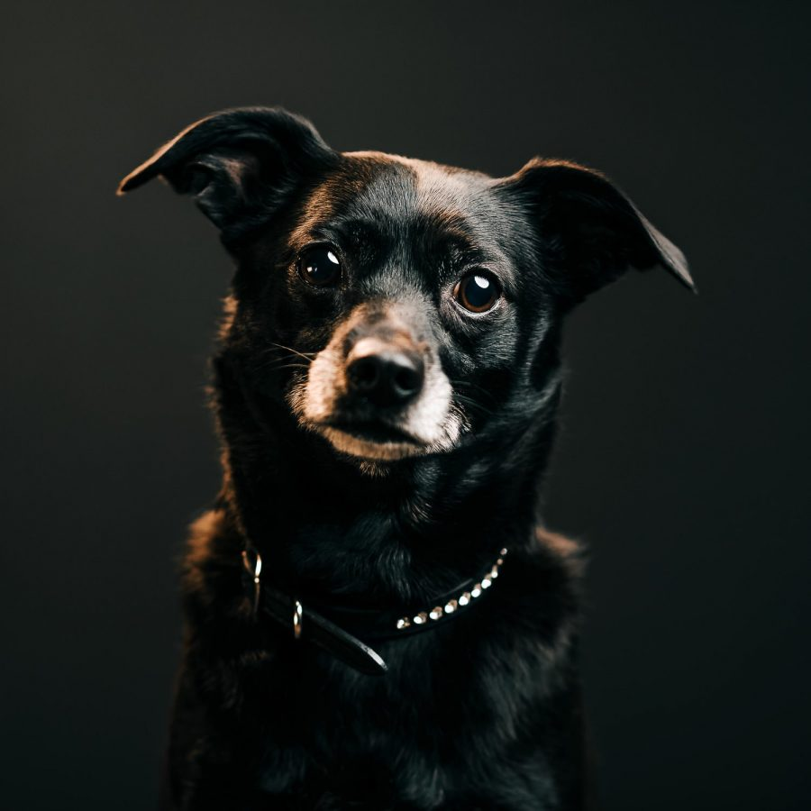 a dramatic flash lit photo of a small black dog against a black backdrop in a garage studio